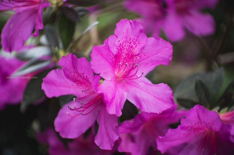Magnolia in springtime-11