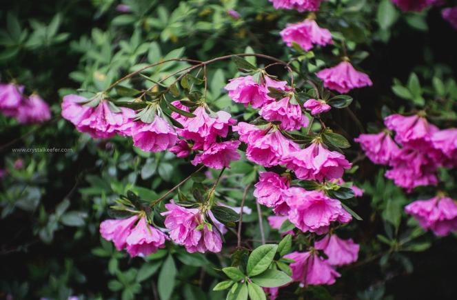 Magnolia in springtime-13