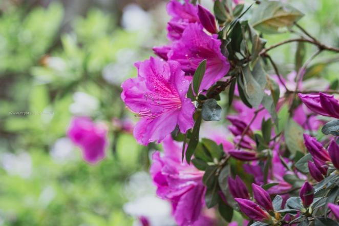 Magnolia in springtime-17