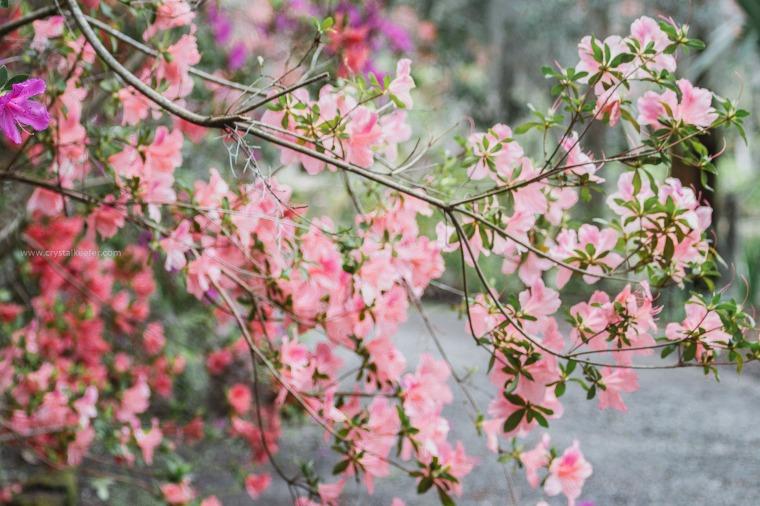 Magnolia in springtime-19