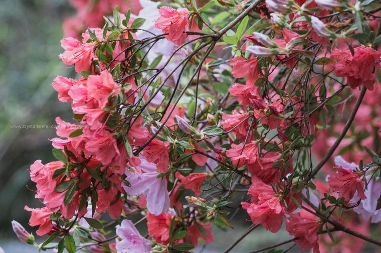 Magnolia in springtime-21