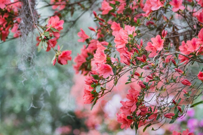 Magnolia in springtime-23