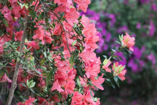Magnolia in springtime-25