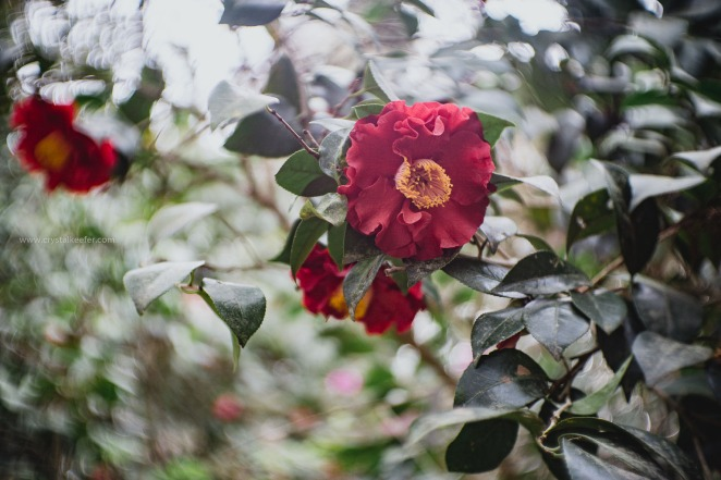 Magnolia in springtime-28