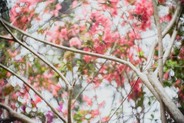 Magnolia in springtime-29