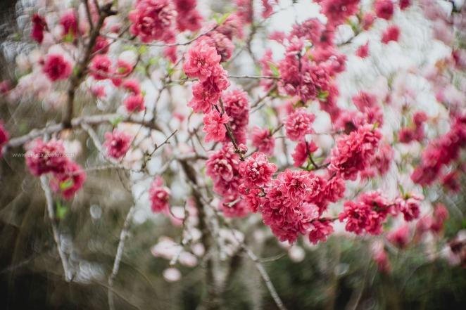 Magnolia in springtime-3