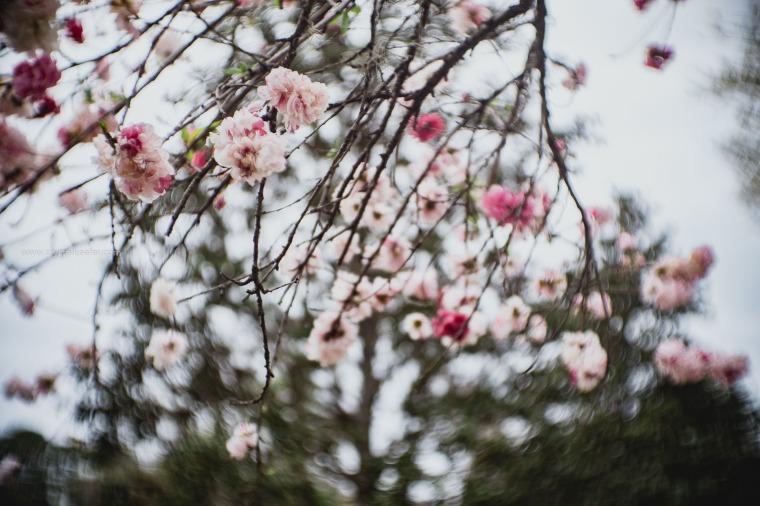 Magnolia in springtime-5