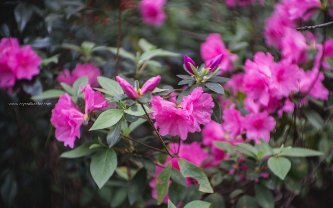 Magnolia in springtime-6